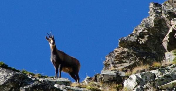 Chamois sur un versant de montagne dans les Pyrénées