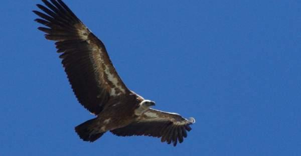 Vautour en plein vol dans le ciel des Pyrénées