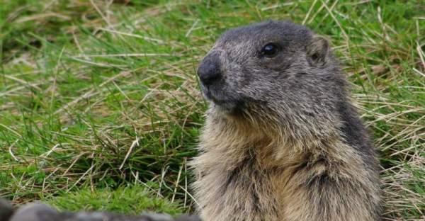 Une marmotte des Pyrénées